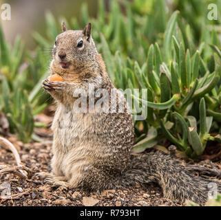 Séance d'écureuil en mangeant une carotte