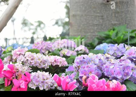 Belles fleurs Hortensia violet dans le jardin Banque D'Images