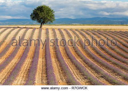 Jeune champ de lavande en Provence, France Banque D'Images