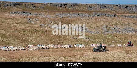 Agriculteur à rassembler les moutons swaledale quad off moorland en automne. , Cumbria (Royaume-Uni). Banque D'Images