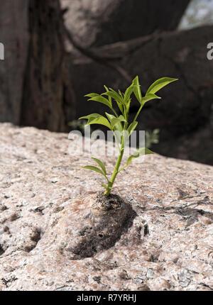 Nouvelle pousse pousse à partir de l'ancien tronc d'un baobab Banque D'Images
