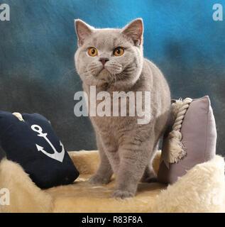 Chat British shorthair, lilac, assis entre les oreillers