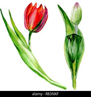 Amazing Red Tulip Fleur Avec Feuille Verte Fleur Botanique Dessine