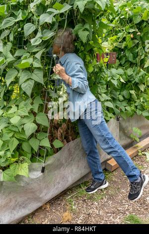 Bellevue, Washington, USA. Woman picking pôle Seychelles les haricots verts qui sont cultivés sur un portique en treillis. (MR) (PR) Banque D'Images