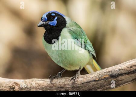 Inca adultes ou Vert Jay en volière en plein air dans le sud-ouest de la France. Banque D'Images