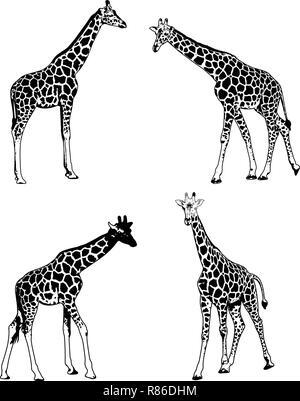 Les Girafes - vector set illustration croquis Banque D'Images