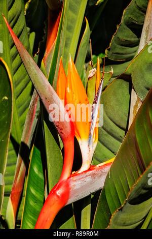 Superbe oiseau du paradis Strelitzia reginae -fleurs -l'inflorescence horizontal avec orange sépales et pétales bleu-blanc Banque D'Images