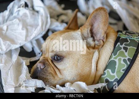 Frenchie reposant de déchiquetage de papier de plaisir. Banque D'Images