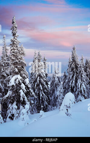 Paysage d'hiver sur une froide soirée après le coucher du soleil. La forêt de conifères dans les montagnes sous la neige Banque D'Images
