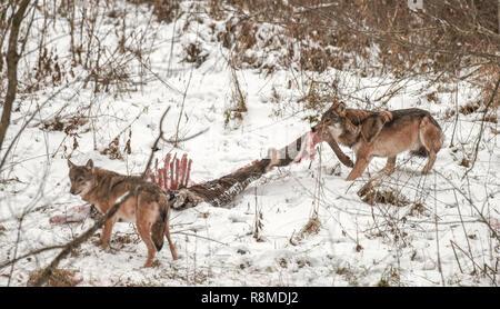 Deux gris, gris ou le loup commun manger carcasse d'un cerf. En milieu sauvage Bieszczady, Pologne. Le cerf a été tué la nuit précédente par wolf pack Banque D'Images