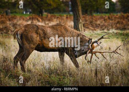 Red Deer mâle (STAG) rut en automne, Bushy Park, Royaume-Uni. Banque D'Images