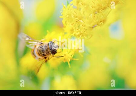 Une abeille dans le pollen jaune recueille le nectar des fleurs de pissenlit sur une journée de printemps ensoleillée. Temps de printemps. Copier l'espace. Banque D'Images