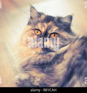 Fluffy chat Persan colorés sur fond de bois. Beaux cheveux long accueil jeune chat