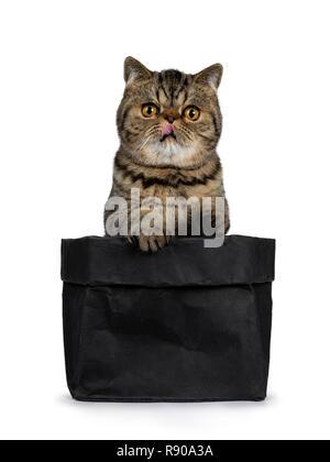 Adorable black tabby cat Exotic Shorthair chaton, assis dans le papier noir sac avec pattes sur Edge et de la langue. Looking at camera with big orange ronde