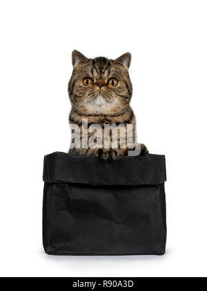 Adorable black tabby cat Exotic Shorthair chaton, assis dans le papier noir sac avec pattes avant sur le bord. À tout droit à l'appareil photo avec Big Orange ronde