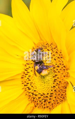 Couvert de pollen abeille sur une fleur de tournesol Banque D'Images
