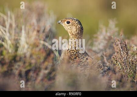 Rouge femelle huppée parmi la bruyère, le parc national de Cairngorm, Highland Ecosse Banque D'Images