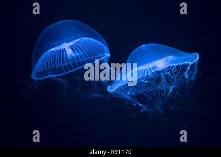Piscine crystal jelly dans un aquarium Banque D'Images
