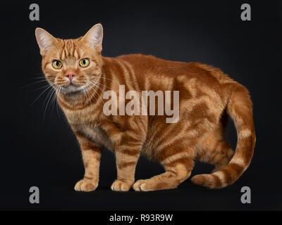 Adorable jeune rouge adultes American Shorthair tabby cat, du côté. En regardant avec les yeux jaune/vert. Isolé sur un fond noir.