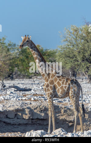 Namibian Girafe (Giraffa camelopardalis angolensis) au point d'eau en Namibie, Afrique