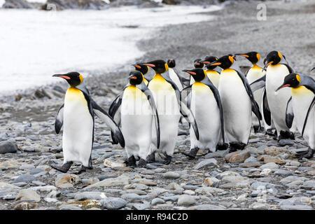 Un groupe de manchots royaux fonctionne sur la plage de galets sur Fortuna Bay, la Géorgie du Sud, l'Antarctique