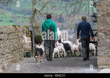 Les travailleurs agricoles en tenant un troupeau de moutons dans un champ, Durham Co., Royaume-Uni. Banque D'Images