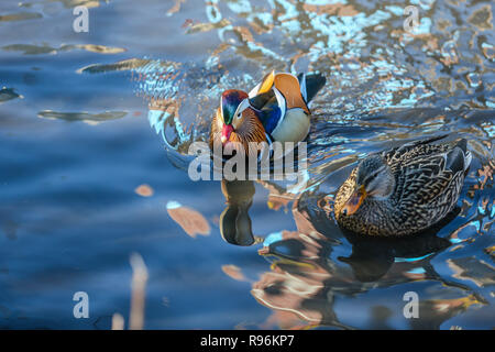 New York, New York, USA. Dec 19, 2018. Le mâle Canard Mandarin, originaire de l'Asie de l'est vu dans Central Park, ce vendredi 19 octobre. Le 10 octobre, le canard a été vu près de la lagune dans Central Park et une vidéo a été partagée sur les réseaux sociaux. Les ornithologues avid de la ville ont été surpris: les canards sont trouvés en Chine et au Japon - pas les États-Unis et aujourd'hui sont devenus des personnages de tous les temps. Crédit: William Volcov/ZUMA/Alamy Fil Live News Banque D'Images