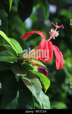 Clayi HIBISCUS hibiscus rouge, Kauai, Maui rosemallow, Clay du Kokiʻoʻula ou d'hibiscus à la Garfield Park Conservatory à Chicago, Illinois. Banque D'Images