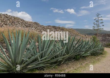 Une longue rangée de cactus agave, à des ruines de Mitla, dans l'Oaxaca, Mexique Banque D'Images