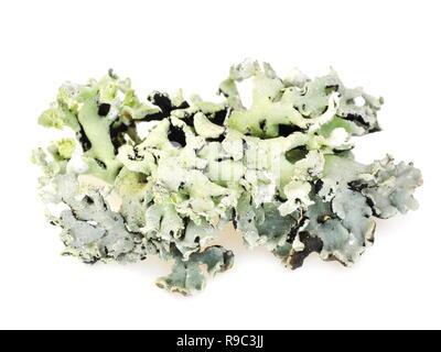 Lichen Tube Hypogymnia physodes sur fond blanc Banque D'Images