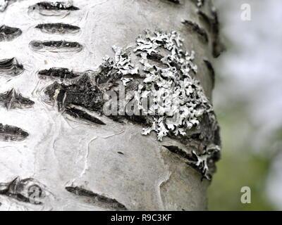 Tube blanc lichen poussant sur un tronc de bouleau Banque D'Images