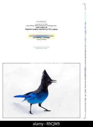 43 160,09772 Photographie Nota Carte (pli coupe d'impression pour 7x5 carte photo), bleu & sassy oiseau geai de Steller (Cyanocitta stelleri) debout dans la neige Banque D'Images