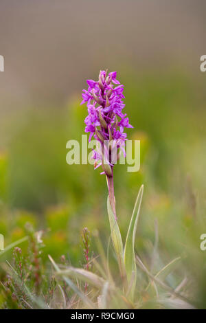 Orchidée parfumée; floraison Gymnadenia conopsea Hongrie Banque D'Images