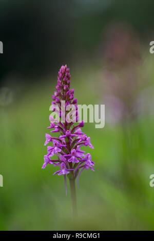 Orchidée parfumée; floraison Gymnadenia conopsea Yorkshire; UK Banque D'Images