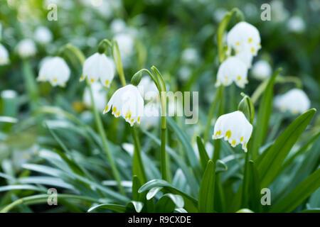 Close-up de printemps (Leucojum vernum) Flocons de fleurs au printemps