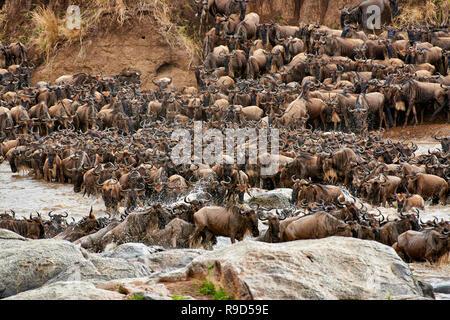 Troupeau de gnous barbu-blanche (Connochaetes taurinus wetmorethraupis sterrhopteron) traversée de la rivière Mara sur migration annuelle, le Parc National du Serengeti, UNESCO world herita Banque D'Images