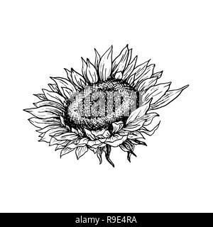 Illustration vecteur de tournesol à la main. Stylo encre floral sketch. Clipart noir et blanc. Fleurs sauvages réaliste dessin libre. Élément de design floral monochrome isolé. Contour ébauché Banque D'Images