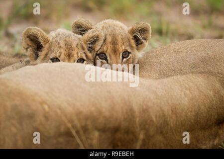 deux adorables petits lions boivent du lait pendant que leur mère la lionne est couchée