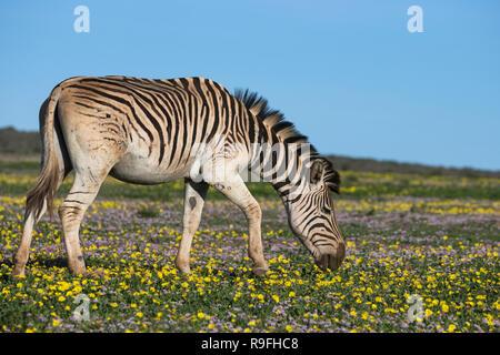 Zèbre des plaines (Equus quagga) fleurs de printemps, Addo Elephant National Park, Eastern Cape, Afrique du Sud, Banque D'Images