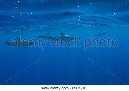 Pod Hawaiian de dauphins au large de Kona, Big Island, Hawaii Banque D'Images