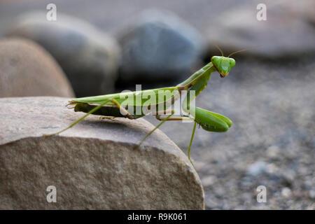 Mante religieuse verte assis sur une pierre close up