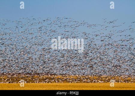 Des milliers d'oies des neiges - Anser caerulescens - voler sur un champ de blé doré avec un ciel bleu sur une journée d'automne ensoleillée dans le sud de la Saskatchewan, Canada Banque D'Images