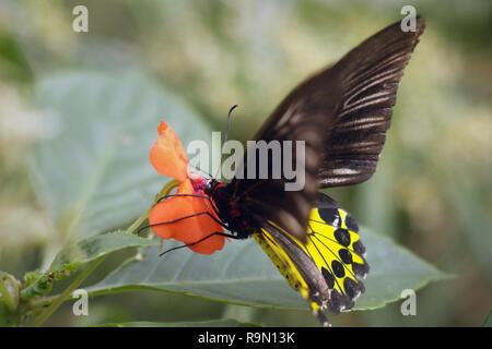 La Cites (Troides helena) alimentation papillon sur un nectar des fleurs Banque D'Images