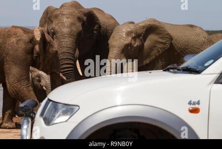 Approches SUV éléphants sur safari dans Addo Elephant National Park, Afrique du Sud. Un grand groupe d'éléphants se rafraîchir à Hapoor Dam. Banque D'Images