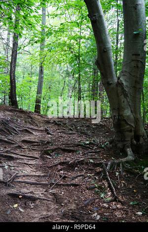La piste forestière va jusqu'à la verdure et la lumière du soleil. sur la piste a beaucoup de racines de l'arbre. USA, Michigan Banque D'Images