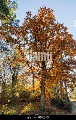 Arbre de chêne rétroéclairé (Quercus robur) en couleurs de l'automne doré, Frensham Little Pond, Farnham, Surrey, au sud-est de l'Angleterre, dans l'après-midi sur une journée ensoleillée