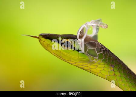 À nez court serpent de vigne dans la région de Arenal, Costa Rica
