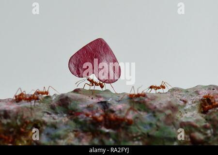 Les fourmis coupeuses de feuilles feuilles d'exécution jusqu'à leur destination finale. Banque D'Images