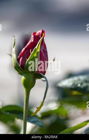 Bouton de rose rouge avec des gouttes de rosée close up sur un arrière-plan flou