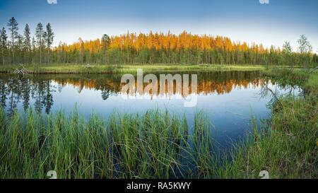 Coucher de soleil, forêt se reflétant dans le lac, l'herbe haute sur la rive, Lappi, Finlande Banque D'Images